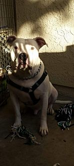 American Staffordshire Terrier/American Pit Bull Terrier Mix Dog for adoption in Oceanside, California - Marley