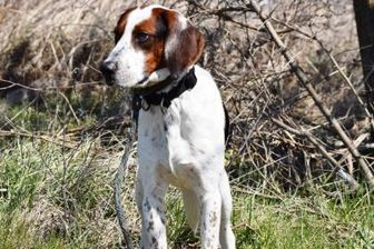 Foxhound Mix Dog for adoption in Ridgely, Maryland - Gaston