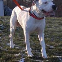 American Bulldog Mix Dog for adoption in Canastota, New York - R.C.