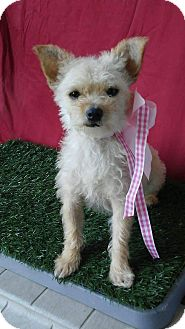 Cairn Terrier Mix Dog for adoption in Santa Monica, California - MONA