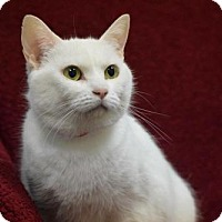 Domestic Shorthair Cat for adoption in Howell, Michigan - Whitney
