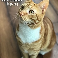 Adopt A Pet :: Maximus - Merrifield, VA