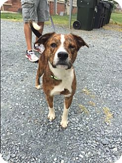 Labrador Retriever Mix Dog for adoption in Monroe, North Carolina - John