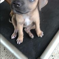 Adopt A Pet :: Lilly - MIAMI, FL