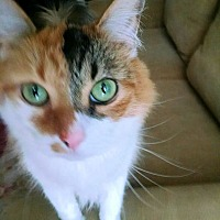 Adopt A Pet :: Callie - Petersburg, VA