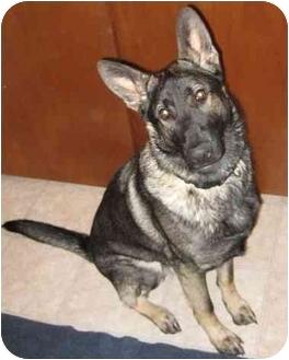 German Shepherd Dog Dog for adoption in Las Vegas, Nevada - Keota