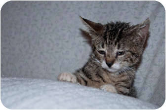 Domestic Mediumhair Kitten for adoption in New Egypt, New Jersey - Paws