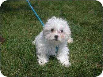 Maltese/Poodle (Miniature) Mix Puppy for adoption in Algonquin, Illinois - Draco