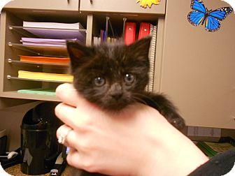 Domestic Shorthair Kitten for adoption in Maywood, New Jersey - Penelope
