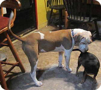 American Bulldog/Pointer Mix Dog for adoption in Copperas Cove, Texas - Jasper (Winston Churchill)