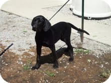 Labrador Retriever Mix Dog for adoption in Paris, Illinois - Booker