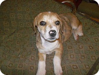 Australian Cattle Dog Mix Puppy for adoption in Shirley, New York - Topaz