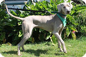 Weimaraner Dog for adoption in Rolling Hills Estates, California - Patrick