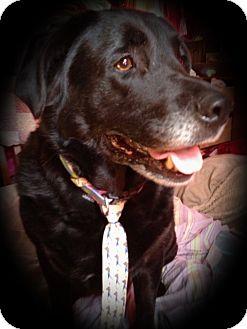 Labrador Retriever Mix Dog for adoption in Lancaster, Pennsylvania - Blake Emmert Neely