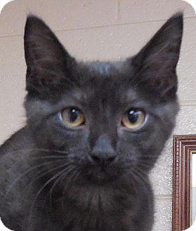Domestic Shorthair Kitten for adoption in Tulsa, Oklahoma - Chenille