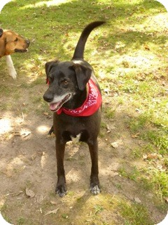 Labrador Retriever Mix Dog for adoption in Baxter, Tennessee - Rasta