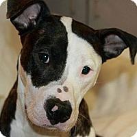 Adopt A Pet :: Athena - Burr Ridge, IL