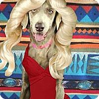Adopt A Pet :: FARRAH PAWCETT (Lily) - Albuquerque, NM