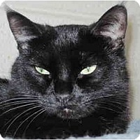 Domestic Shorthair Cat for adoption in Scottsdale, Arizona - Minnie