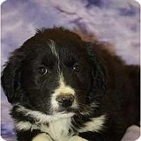 Adopt A Pet :: Sky - Broomfield, CO