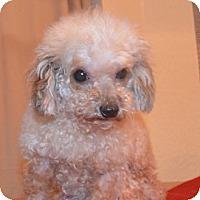 Adopt A Pet :: MIKKI - Brooksville, FL