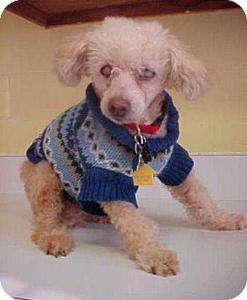 Poodle (Miniature) Dog for adoption in Dahlgren, Virginia - Carter - 9 lbs