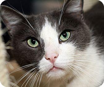 Domestic Shorthair Cat for adoption in Royal Oak, Michigan - EMMETT
