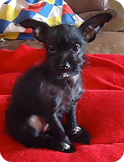 Poodle (Miniature)/Chihuahua Mix Puppy for adoption in Hagerstown, Maryland - Penelope