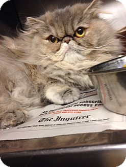 Persian Cat for adoption in Voorhees, New Jersey - Topenga