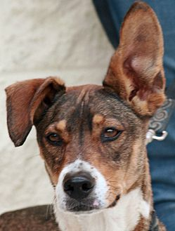 Beagle Mix Dog for adoption in Palmdale, California - Noah