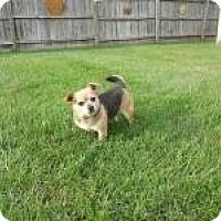 Adopt A Pet :: She Hulk - Shawnee Mission, KS
