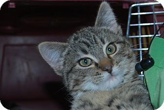 Domestic Shorthair Kitten for adoption in Twin Falls, Idaho - Sven