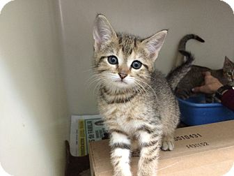 Domestic Shorthair Kitten for adoption in Hialeah, Florida - Chaz