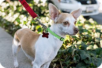 Chihuahua/Terrier (Unknown Type, Small) Mix Dog for adoption in Encino, California - Lalo