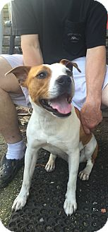 Jack Russell Terrier/Spaniel (Unknown Type) Mix Dog for adoption in Fishkill, New York - Jarvis