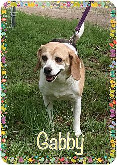 Beagle Dog for adoption in Greensboro, Maryland - Gabby