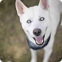 Adopt A Pet :: Blue - Kingwood, TX