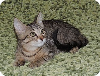 Domestic Shorthair Kitten for adoption in Plano, Texas - TWINKIE - TOTAL SWEETNESS