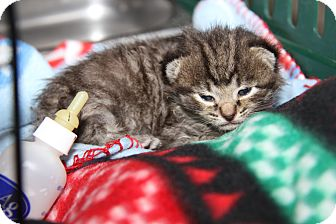 Domestic Shorthair Kitten for adoption in Marietta, Ohio - Pippen