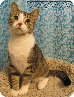 Domestic Shorthair Cat for adoption in Covington, Kentucky - Ferris