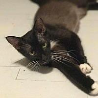 Domestic Longhair Cat for adoption in Virginia Beach, Virginia - Ireland