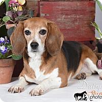 Adopt A Pet :: Daisy - Yardley, PA