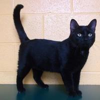 Adopt A Pet :: Bellamy - Williamsport, PA