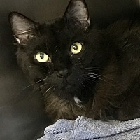 Adopt A Pet :: Pacey-I'm a heart-throb! - Manchester, NH