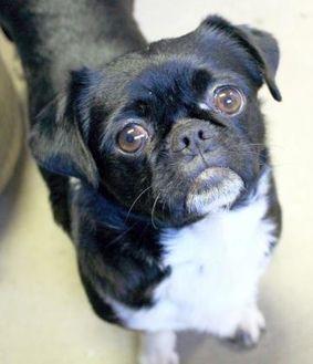 Pekingese/Pug Mix Dog for adoption in Enterprise, Alabama - Henry