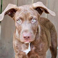 Adopt A Pet :: Curry - Los Angeles, CA