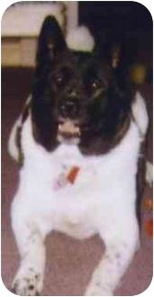 Akita Dog for adoption in Chicago, Illinois - Suki