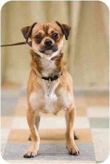 Pug/Chihuahua Mix Dog for adoption in Portland, Oregon - Chacho