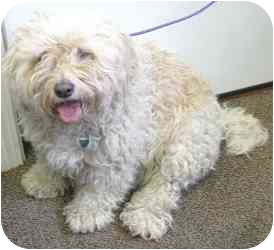 Bichon Frise Mix Dog for adoption in Meridian, Idaho - Woody