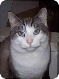 Snowshoe Cat for adoption in Delmont, Pennsylvania - Ben
